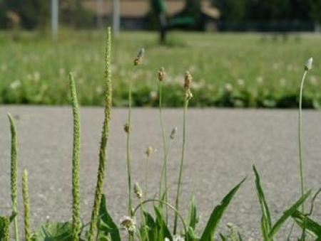 seedheads of broadleaf (left) and buckhorn (right) plantain