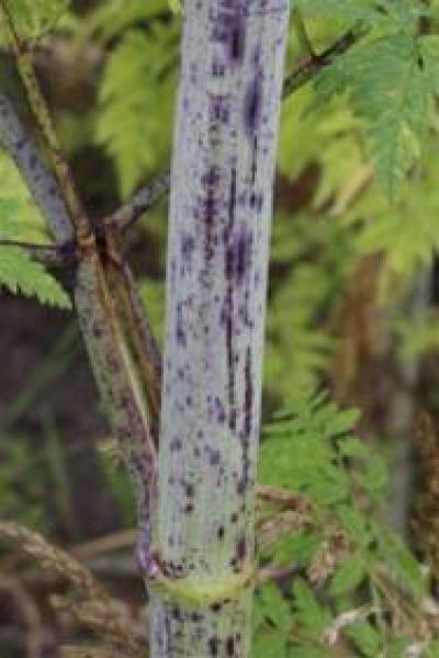 stems have purple spots and often are covered with a waxy bloom