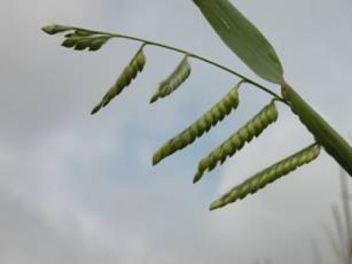 seedheads have branches with two rows of seed