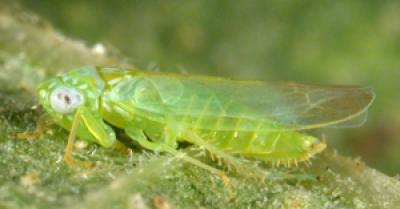 potato leafhopper