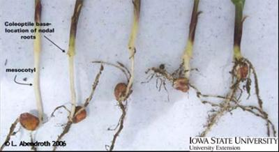 Photograph showing the root development of corn according to seeding depth.
