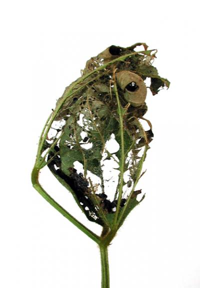 Thistle caterpillar defoliation