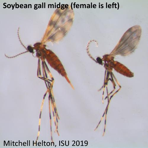 Female and male soybean gall midge.