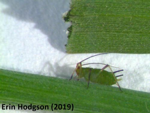 wingless aphid on rye.