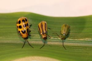 Three species of corn rootworm