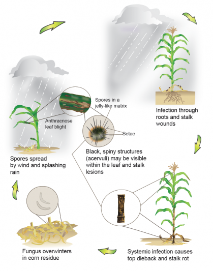 An image depicting the anthracose leaf blight disease cycle, from sclerotia to leaf lesions.