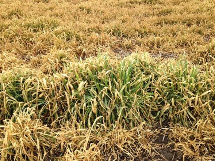 Cereal rye cover crop termination failure