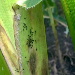 Corn aphid in southern Iowa corn field