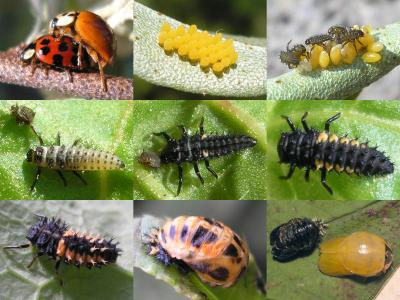 multicolored Asian lady beetle life stages