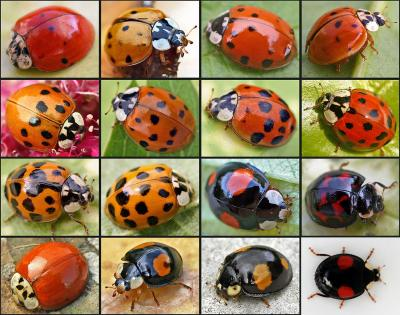 multicolored Asian lady beetle wing variation