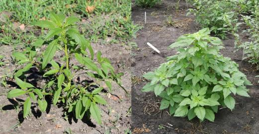 Waterhemp's open canopy (left) compared to Palmer amaranth's denser, leafy canopy (right).
