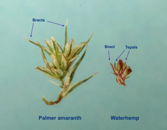 Comparison of a female Palmer amaranth flower and a female waterhemp flower.