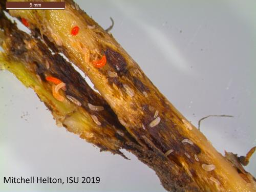 Soybean gall midge on soybean.
