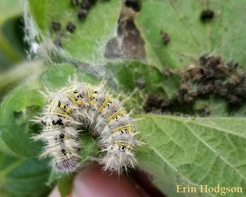 thistle caterpillar.