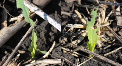 true armyworm feeding injury