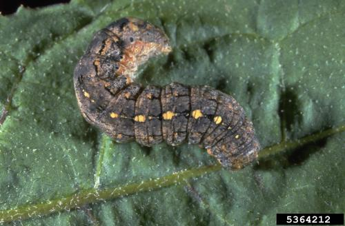 variegated cutworm.