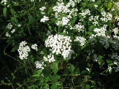 White snakeroot fun weed fact for the week integrated crop the flowers of white snakeroot are a common sight along the edges of iowas woodlands in september mightylinksfo
