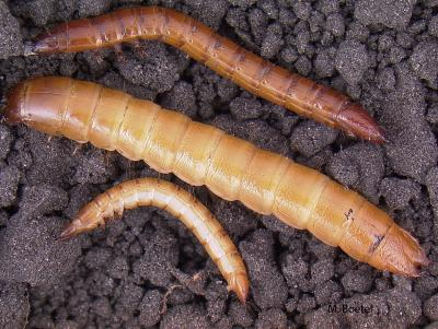 example of wireworms