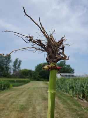 corn rootworm injury.