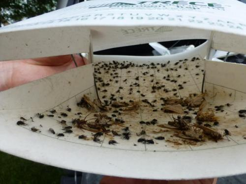 armyworm moths in sticky wing trap