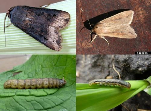 black cutworm and true armyworm