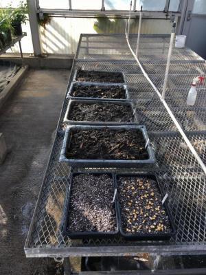 Volunteer corn germination demo in greenhouse