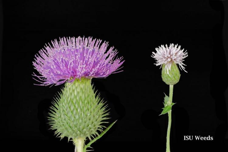 Size difference between bull thistle