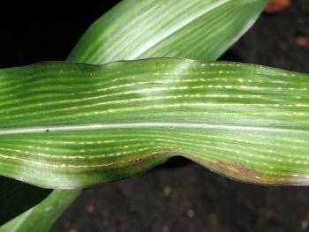 What causes striped corn leaves?