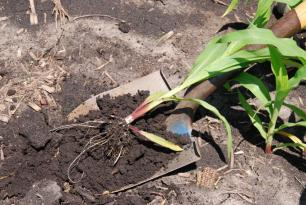 small corn seedling lying on shovel blade, collected to test for damaging levels of nematodes