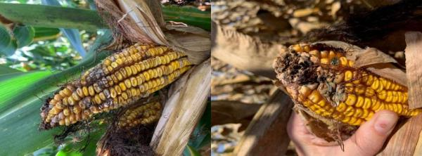 Fusarium on an ear of corn (left) and Pennicillium on an ear of corn (right).
