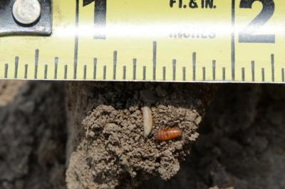 seedcorn maggot and pupae