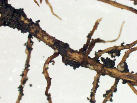 Adult soybean cyst nematode(SCN) females on soybean roots collected on June 5, 2018, from a field in southeast Boone County that was planted on May 10, 2018. There are more than a dozen SCN females on the roots shown in the image.