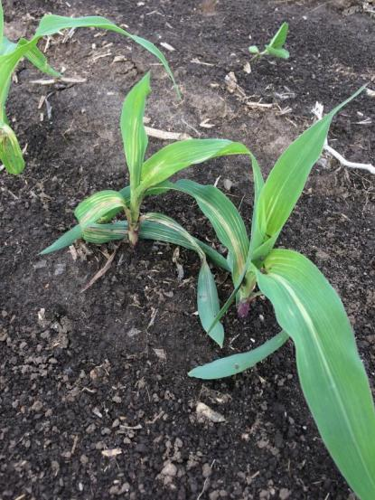 Veinal chlorosis typical of fomesafen carryover on corn