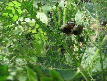 Japanese Beetle Adult Emergence Beginning in Southern Iowa