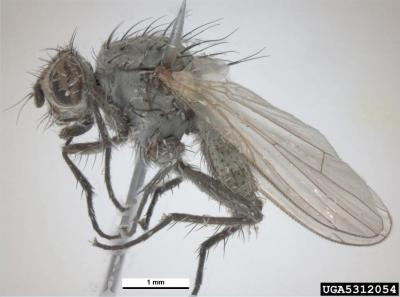 seedcorn maggot adult fly