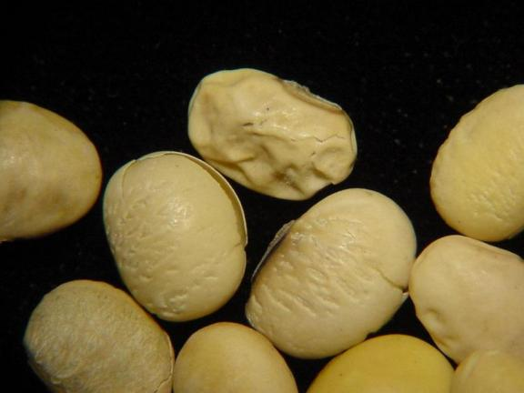 Diaporthe can infect seeds, causing deformities in soybean seed and reduced germination.