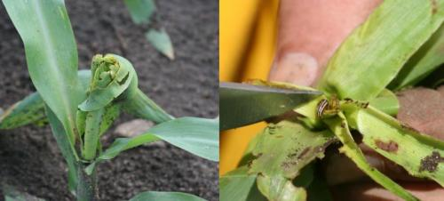common stalk borer and injury to corn