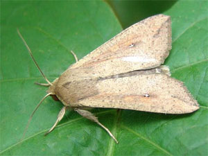 true armyworm moth