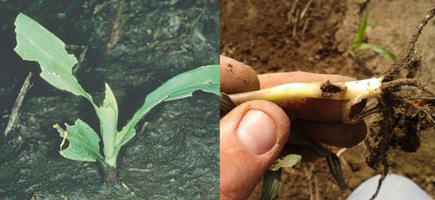 black cutworm feeding on corn leaves and seedling stalk
