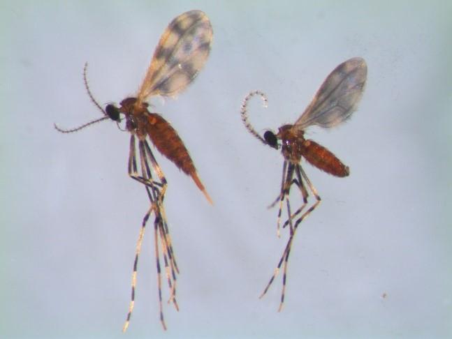 Adult soybean gall midge, female on the left