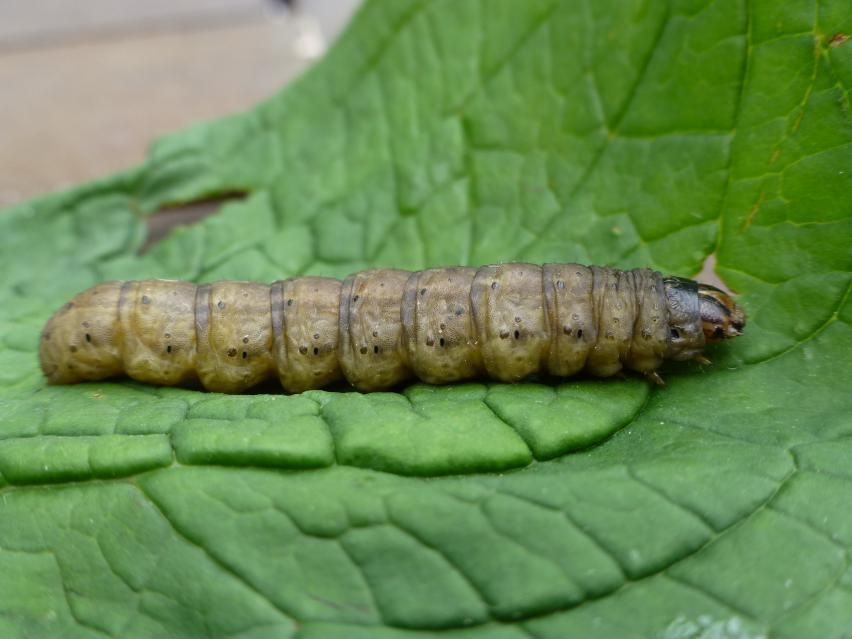 black cutworm larvae side view on leaf