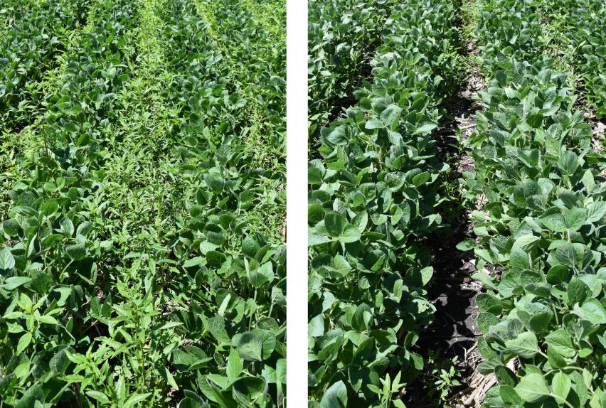 Waterhemp density in soybean with marginal (left) vs. aggressive weed control program plus harvest weed seed control (right) in previous year's corn.