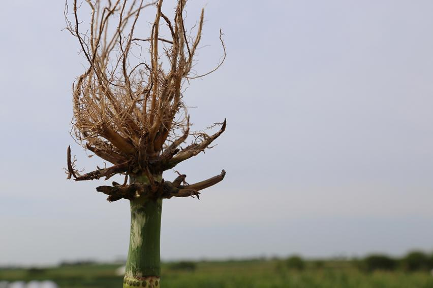 Corn rootworm injury to roots