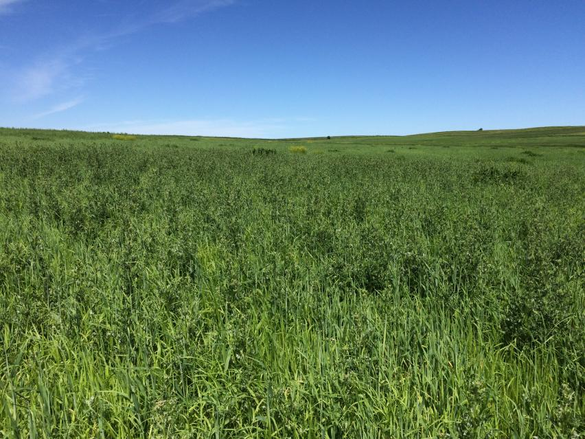 Significant Canada thistle infestation in hay field