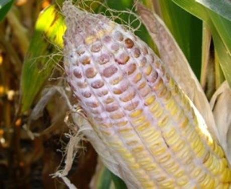 Update on 2014 Crop Quality | Integrated Crop Management