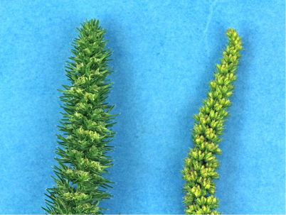 Identifying waterhemp and Palmer amaranth | Integrated Crop Management