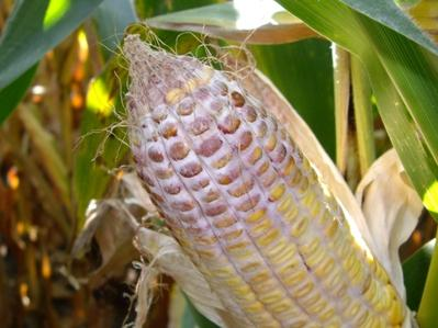 Corn Quality Issues In 2008 Field Molds