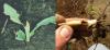 black cutworm feeding on corn leaves and seedling stalk