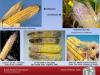 Various corn diseases image