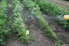 """Hail machine """"hailing"""" soybean plants"""
